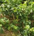 小小的葡萄干对身体有5大好处,吃葡萄干时要注意这3点
